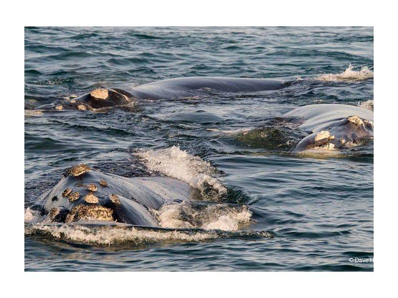 What you should know about the Southern Right Whale